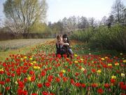 Продам   луковицы   тюльпанов   ,     возможен обмен