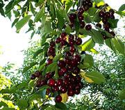 Продам саджанці фруктових дерев