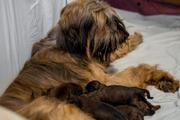 Бриар (Французская овчарка),  Бультерьер,  Веймаранер,  мареммо-абруцкая