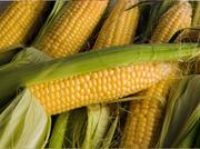 Посівний матеріал (насіння) кукурудзи та соняшника