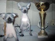 предлагаю щенков голой мексиканской собачки