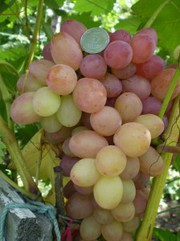 Саженцы и черенки винограда по самым низким ценам.
