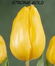 Тюльпан оптом к 8 марта