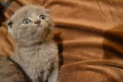британские котятв