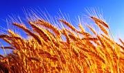 Куплю ячмень рапс подсолнечник сою кукурузу пшеницу постоянно