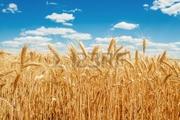 Закупаем пшеницу,  объемы любые.