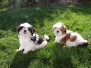 Энергетические щенки ши-тцу